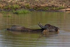 Free Water Buffalos Stock Image - 42024731