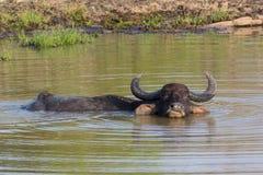Free Water Buffalos Stock Photos - 42024853