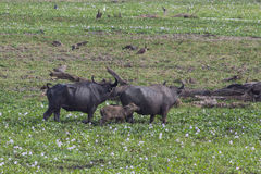 Free Water Buffalos Stock Image - 42028471