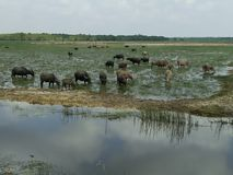 Water buffalos in country Royalty Free Stock Image