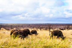 Water Buffalos grazing on the Savannah grass in Kruger National Park Royalty Free Stock Photos