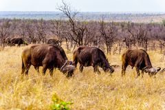 Water Buffalos grazing on the Savannah grass in Kruger National Park Stock Image