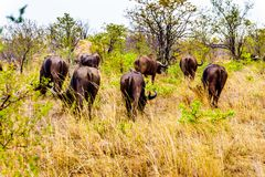 Water Buffalos grazing on the Savannah grass in Kruger National Park Stock Photos