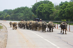 Water Buffalos on Highway Stock Image