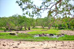 Water buffalos are laying in a fascinating landscape in the Yala Nationalpark Royalty Free Stock Image