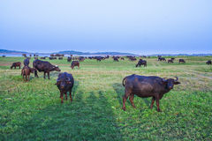 Water buffalos on the meadow. Water buffalos in the Lahugala Kitulana National Park. It is one of the smallest national parks in Sri Lanka Stock Images