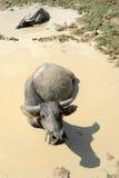 Water buffalos on the mud Royalty Free Stock Photo