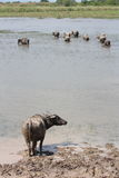 Water buffalos. In the mud that see something Royalty Free Stock Image