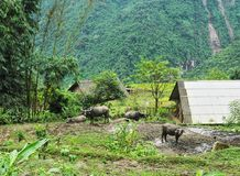 Water buffalo chewing grass, Sapa district, Vietnam stock images