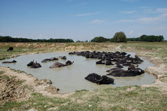 Water Buffalos by Pond Stock Photography