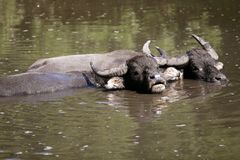 Water buffalos sinking on brown  lake Stock Image