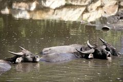 Water buffalos sinking on brown  lake Stock Photo