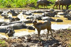 Water Buffalos. In Sri Lanka royalty free stock images