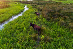 Water buffalos standing on green grass. Shot from aerial Royalty Free Stock Images