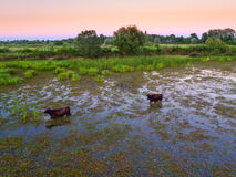 Water buffalos standing on green grass. Shot from aerial Stock Photography