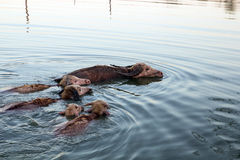 Water buffalos are swimming Royalty Free Stock Photo