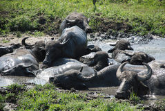 Water Buffalos Wallowing in Mud Royalty Free Stock Photos