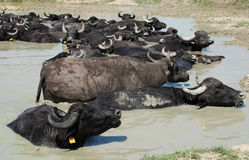 Water Buffalos Wallowing in Mud, Hungary Royalty Free Stock Photo
