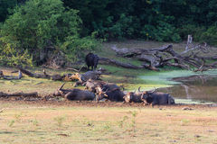 Water buffalos Stock Photography