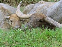Water in buffels royalty-vrije stock afbeelding