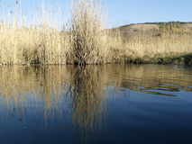 Water and bulrush Royalty Free Stock Photography
