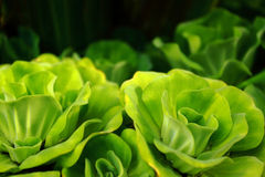 Water cabbage Stock Photography