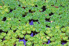 Water Cabbage or Lettuce Stock Photo