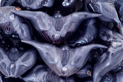 Water caltrop. The close-up of water caltrop tubers . Scientific name: Trapa manshurica Royalty Free Stock Images