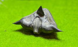 Water caltrop seed Trapa natans Royalty Free Stock Images