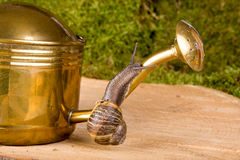 Water can with snail. Garden snail climbing an antique watering can Royalty Free Stock Photos