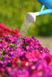 Water can watering a beautiful pink flowers Stock Image