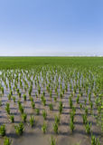 Water Canal Between Paddy Fields. Vertical landscape of the paddy fields of La Albufera de Valencia (Spain), with a bright blue sky and some buildings in the Royalty Free Stock Photos
