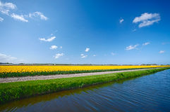 Water canal and a tulip field in Holland Stock Photo
