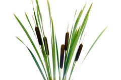 Water cattails on a white background isolated Royalty Free Stock Photos