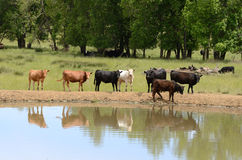 Water Cattle Stock Photography