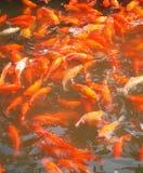 Water cheerful fish. The fish swim in water merrily Stock Photos