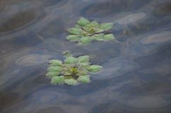 Water chestnut Royalty Free Stock Photography