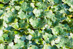 Water chestnut or Trapa Bispinosa Roxb Royalty Free Stock Photography