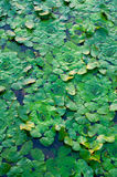 Water chestnuts. In the Danube Delta royalty free stock photography