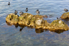 Water chicken coots wintering on the coast. Stock Photography