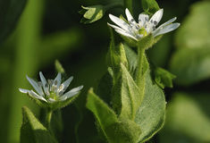 Water Chickweed Stock Photos