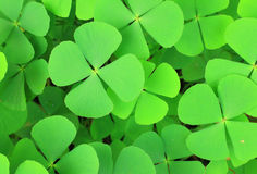 Water clover Royalty Free Stock Images