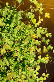 Water clover - marsilea quadrifolia Royalty Free Stock Photos