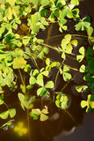 Water clover - marsilea quadrifolia Royalty Free Stock Images