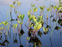 Water Clover (Menyanthes trifolia) at evening sun. Water clover reflected in still water Stock Images
