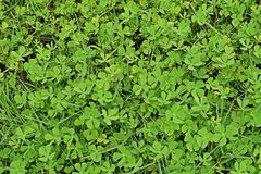 Water clover, water fern, aquatic weed. Common find in rice field royalty free stock images