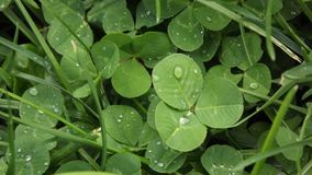 Water on clovers. Some dew water on clovers Stock Photo