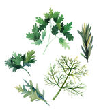 Water color herbs. Fennel, parsley, rosemary and arugula. Vector Stock Image