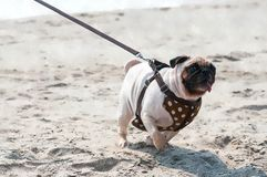 Water color sketch of happy pug dog racing through the sand. Royalty Free Stock Images