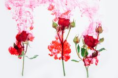 Water color style abstract red rose white background acrylic inside water passion blood pink leaves green around stock image